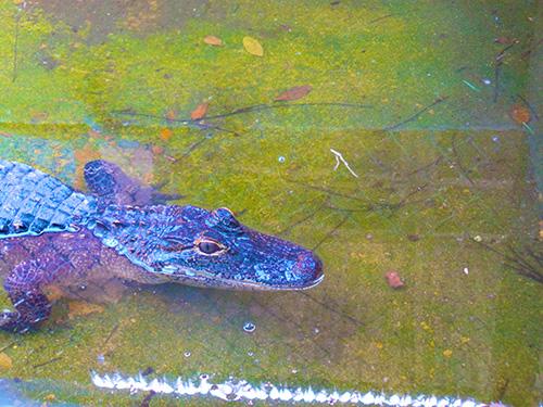 Everglades-Alligator-Kara-Franker
