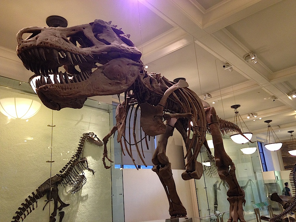 Among the best free museums is New York's stunning Natural History Museum, which features this incredible T-Rex skeleton. Photo courtesy of Ally Marotti.